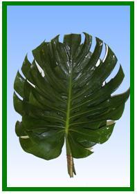 Monstera Leaf Image