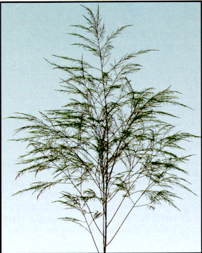 Tree Fern Image