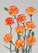 Mini Carnation Image