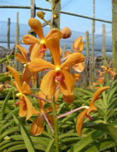 Orchid: Mokara Image