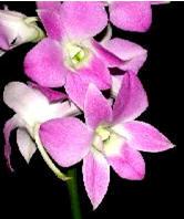 Orchid: Dendrobium Image