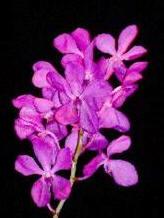 Orchid (Mokara) Image