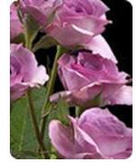 Spray Roses Image