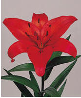 Lily Image
