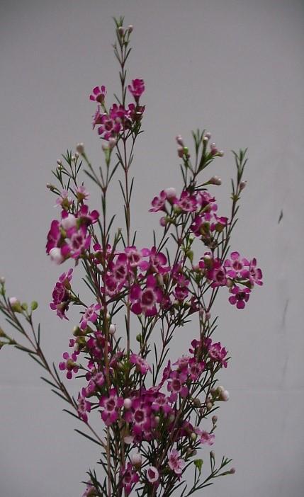 Waxflower Image