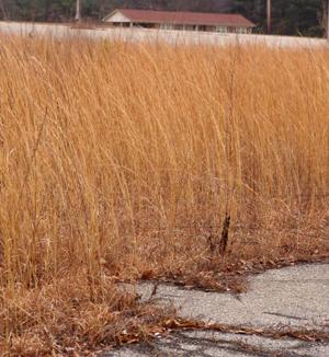Andropogon virginicus – Broomsedge winter