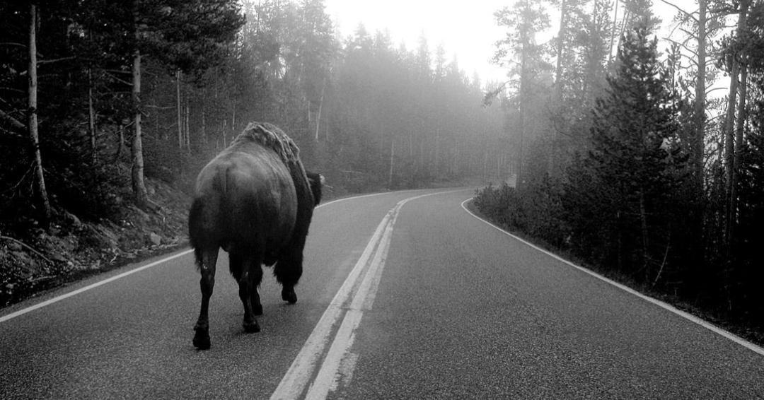 buffalo on road / company in transition