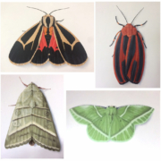 sketches of various butterflies and moths
