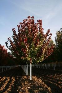 pear.autumn blaze (533x800)