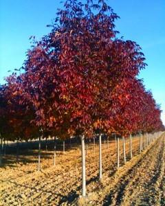 Fraxinus americana 'Autumn Purple'