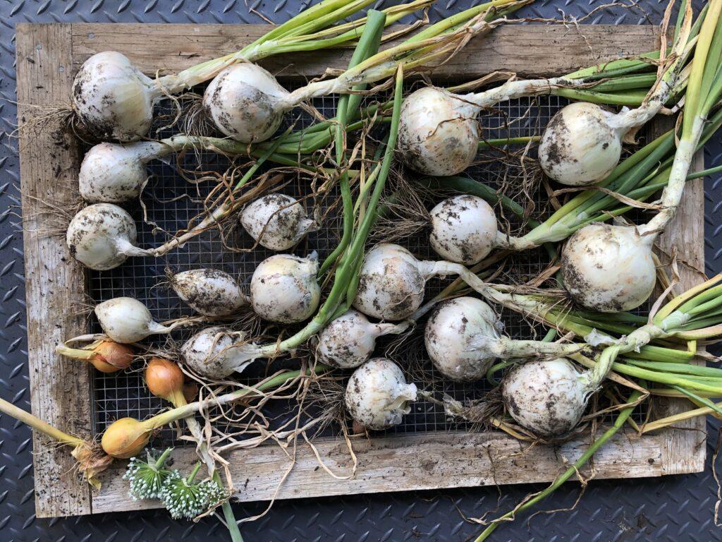 onions, harvest, garden