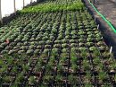 greenhouse-herbs_0