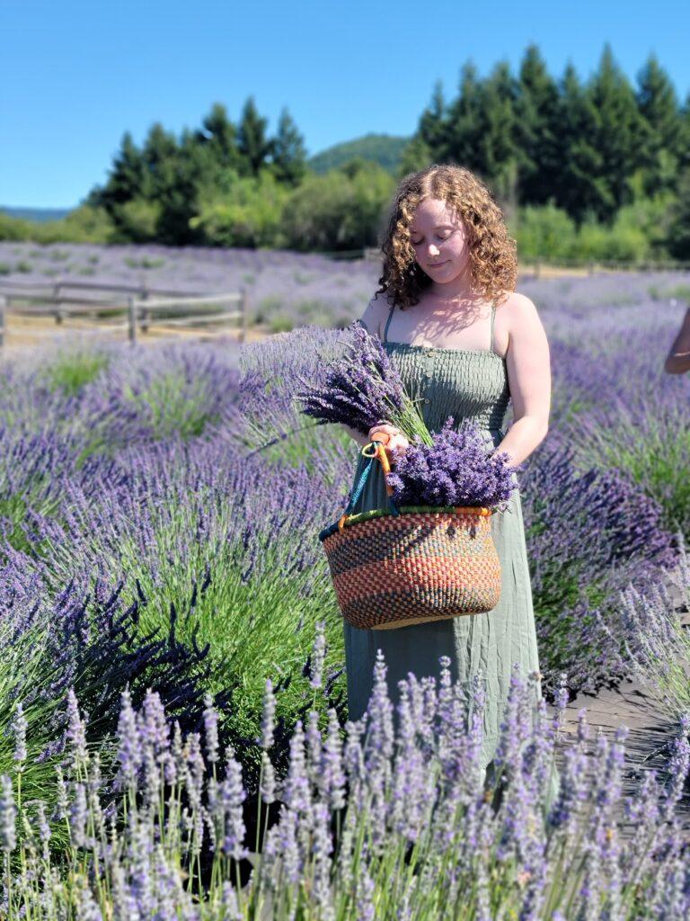 Tania harvesting Lavender
