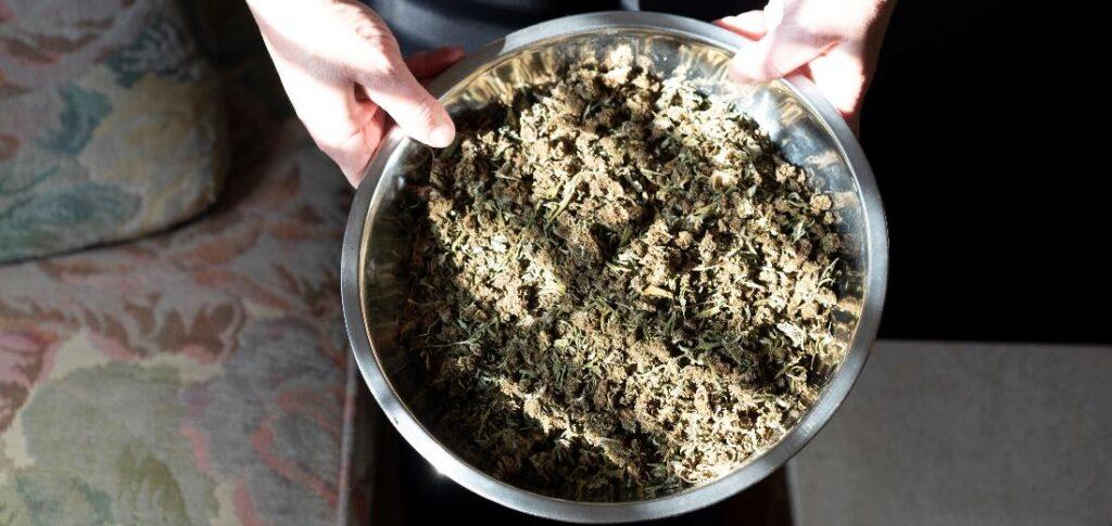 cannabis plant in a bowl