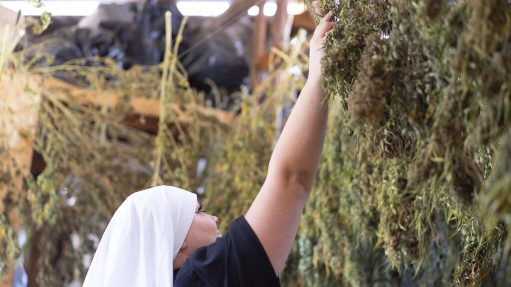 sister checks the cannabis plant
