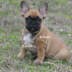 Tycoon x Moonlight Black Mask Fawn Female ay/at, D/d, ky/ky