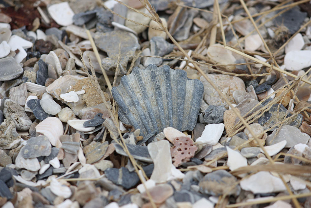 Chippokes Plantation State Park Beach Shells