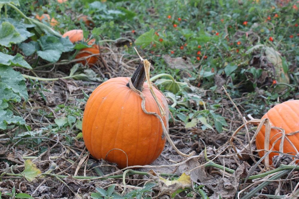 College Run Farm Surry County VA Pumpking Patch