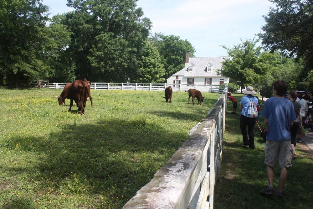 Pasture Animals in Colonial Williamsburg VA