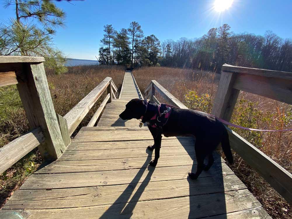 Black Lab Walking Across Bridge at York River State Park