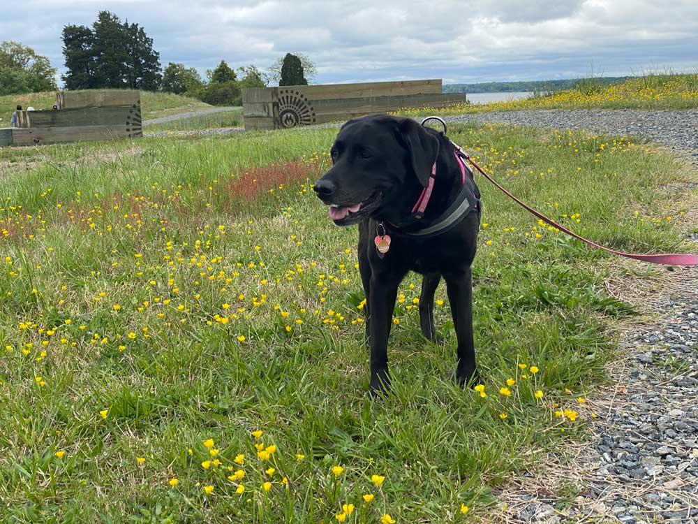 Black Lab Dog at Machicomoco State Park