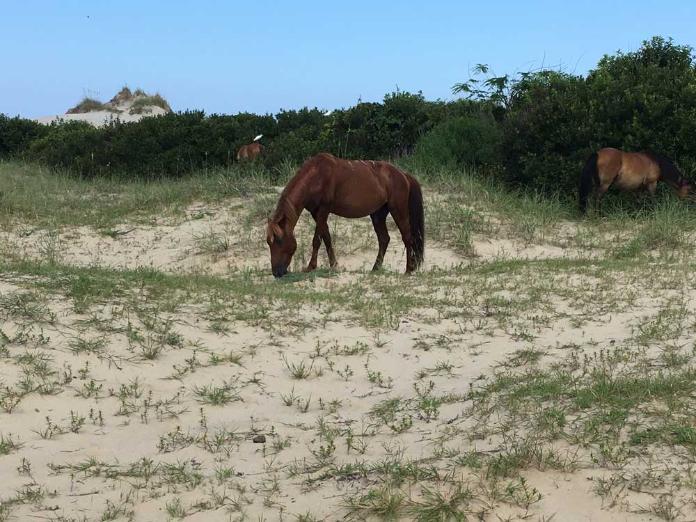 Corolla Wild Horses on the Outer Banks of North Carolina
