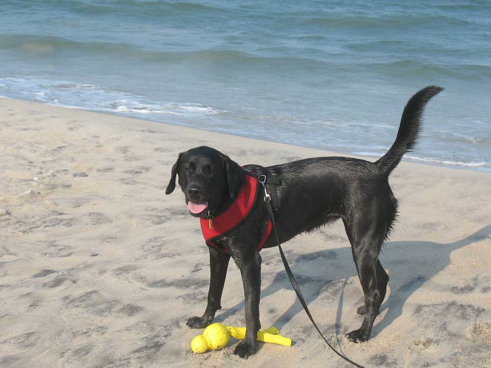 Dog on the Beach at the Outer Banks OBX
