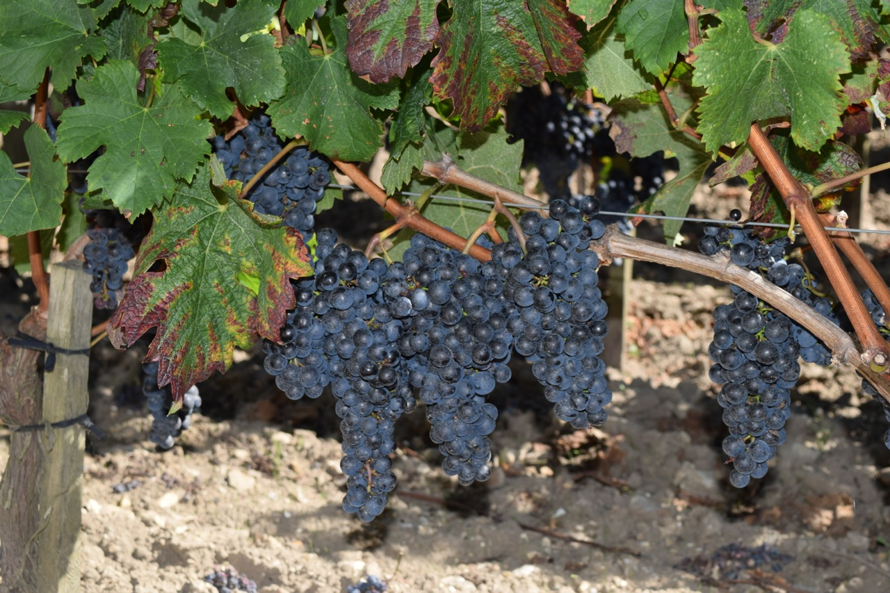 Only a few weeks away from maturity, the grapes at Château La Conseillante