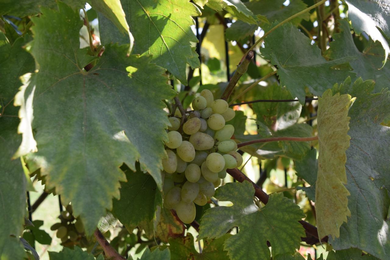 white grapes bouliac