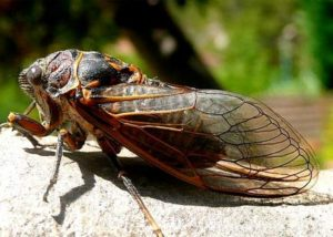 Cicada insect picture.