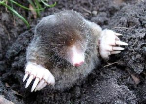 mole popping head out of the ground.