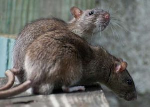Two rats on a table.