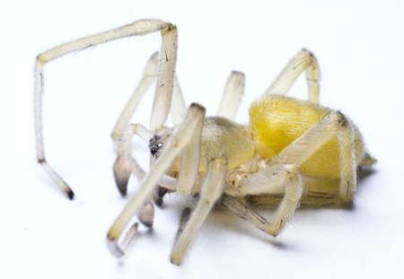 yellow sac spider control