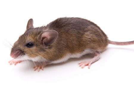 white-footed mouse portfolio picture
