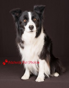 Collie4. Adelaide Pet Photos, dog and pet photography by Janet Coelho