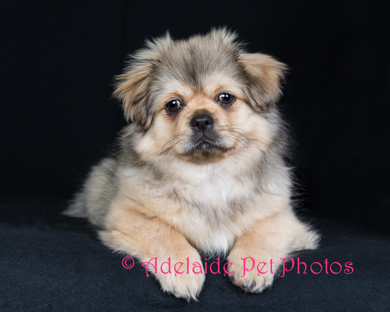 Adelaide Pet Photos, professional pet photography portraits by Janet Coelho