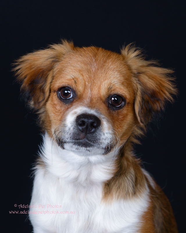 Maltese X, Shitzu, Adelaide Pet Photos, pet photography by Janet Coelho. Dog and cat photographer, Adelaide, South Australia.