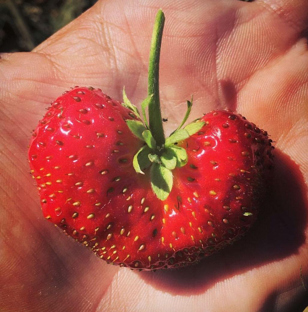 heart-berry