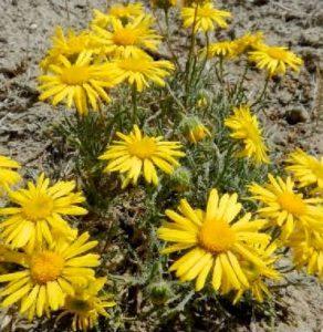 Linear leaf daisy