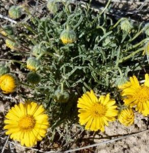 Poper's daisy