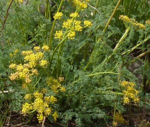 turpentine spring parsley