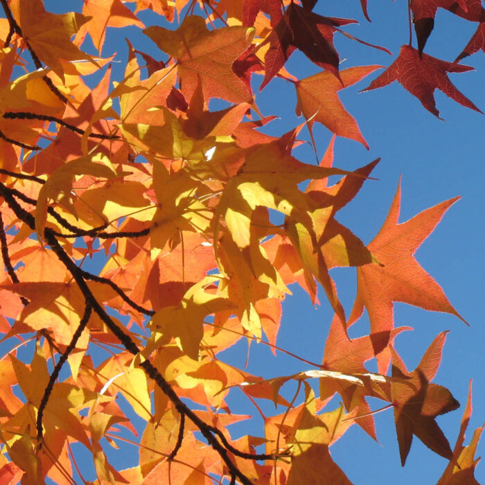 Fall Leaves in Grass Valley