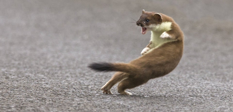 Angry weasel looking like he's ready to attack someone.