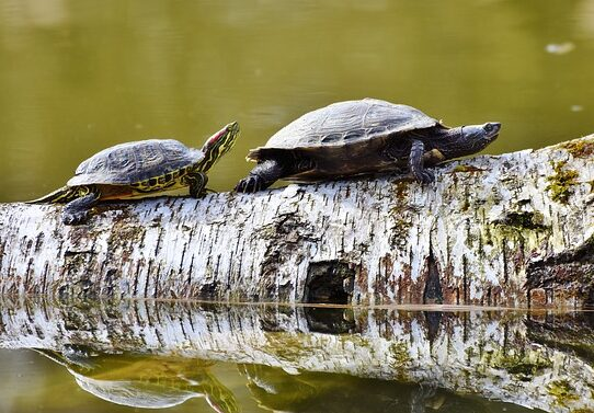 Two turtles on a log
