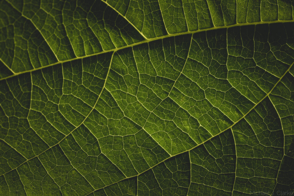 A macro view of a bean leaf.