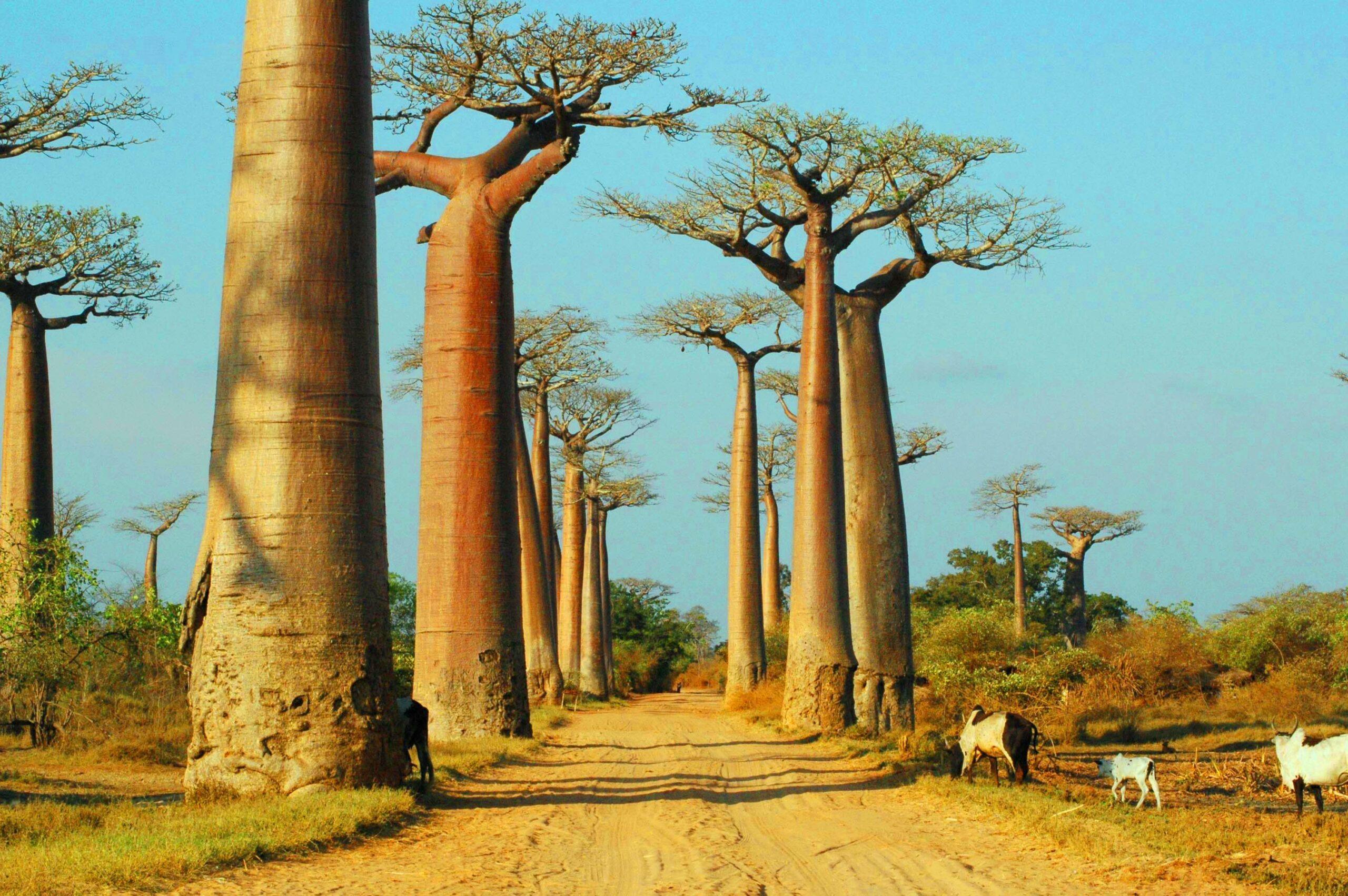 Baobab-Alley3
