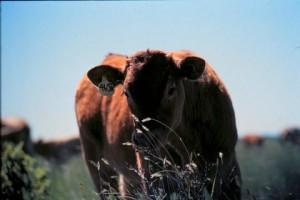calfgrass386