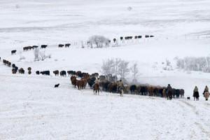 cattle_drive_spring_church