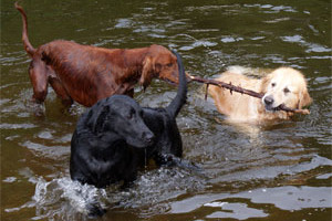 dogs_water_weary