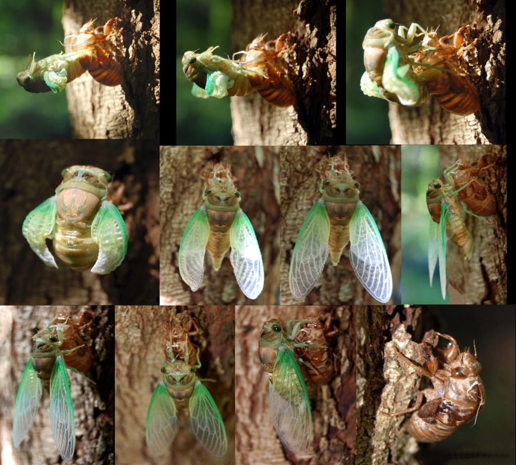https://upload.wikimedia.org/wikipedia/commons/e/e6/Adult_Cicada_Emerging_from_Nymph_Skin
